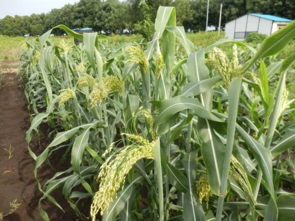 宇都宮大学 鹿沼でほうき草を作る会