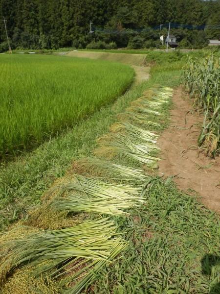 宇都宮大学 鹿沼でほうき草を作る会3