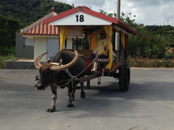 西表島の海を渡れる水牛